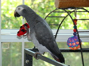 healthy congo african grey parrots-200 (shipping inclusive)
