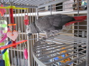 Mimi talking congo african grey parrots ready now