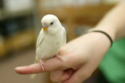 I need a white young female budgie