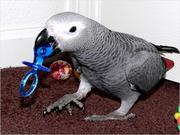 Cute Congo African Grey parrot for a Good Home.