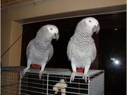 Pair Of African Grey parrots for adoption
