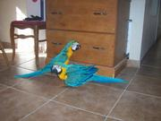 sweetest macaw parrots for adoption