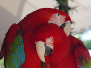 CUTE SCARLET MACAW PARROTS FOR SALE