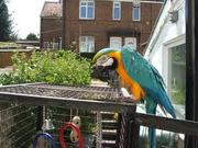 Trained well cute and lovely beautiful blue and gold parrots for re ho