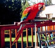 female scarlet macaw bird for adoption