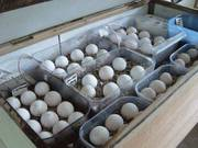 Parrot Eggs for sale